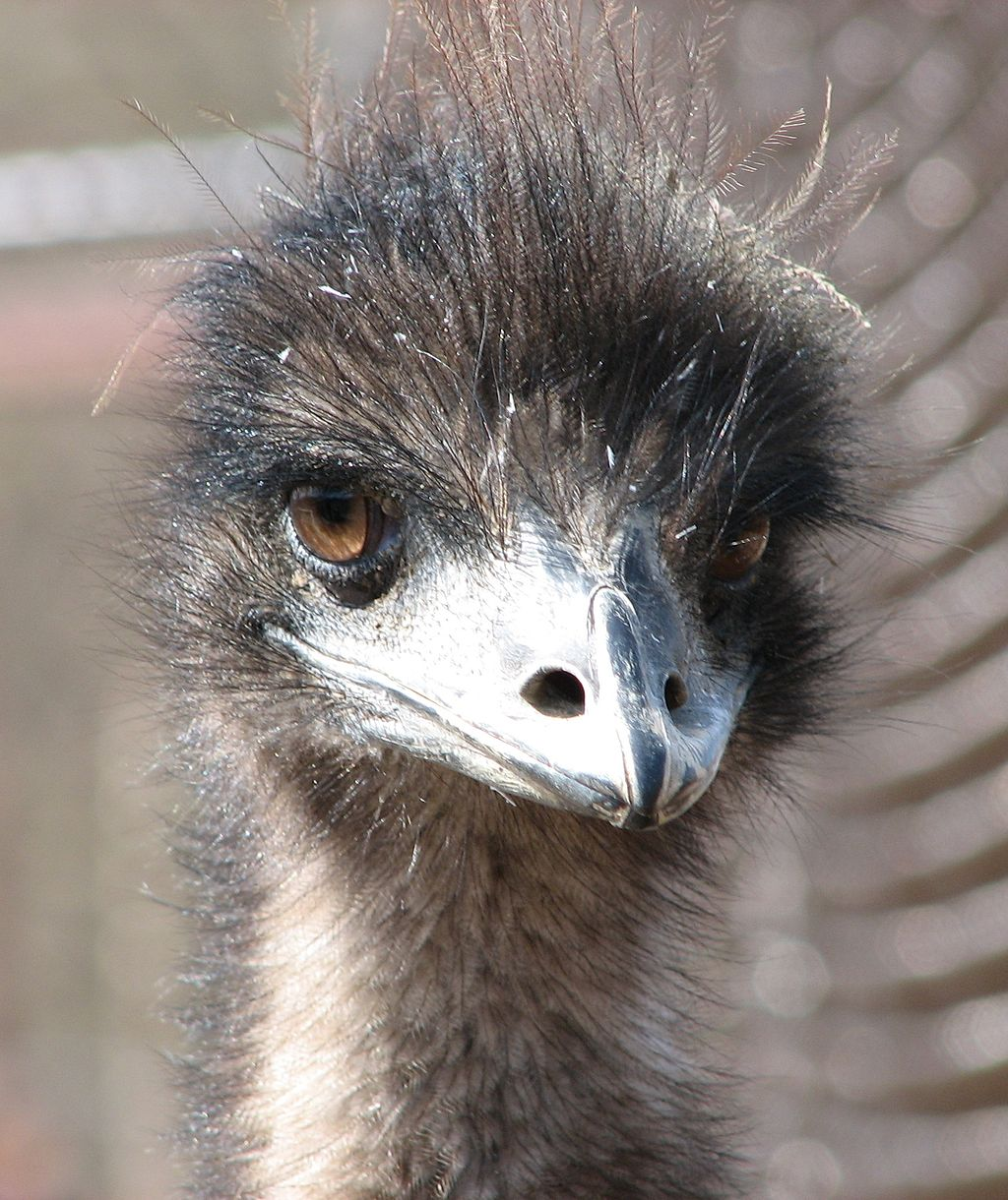 1024px-Emu_at_the_Louisville_Zoo
